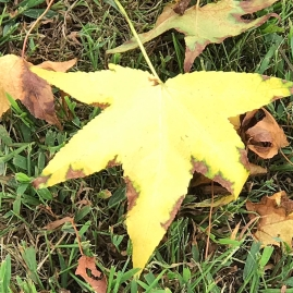 Yellow Leaf 1