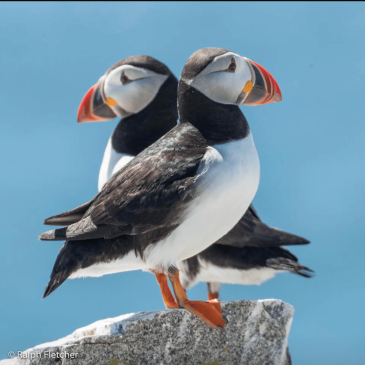 Puffins East & West