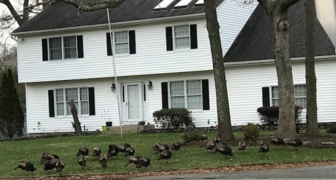 "Across the street from my school. I have never seen such a big rafter of turkeys! PS know that a group of turkeys is called a ""rafter"" is just the sort of thing a reading teacher would know."